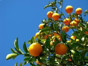 Citrus Aurantium orange amère